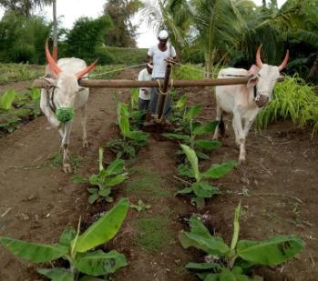 केले की खेती की तरफ बढ़ता किसानों का रुझान