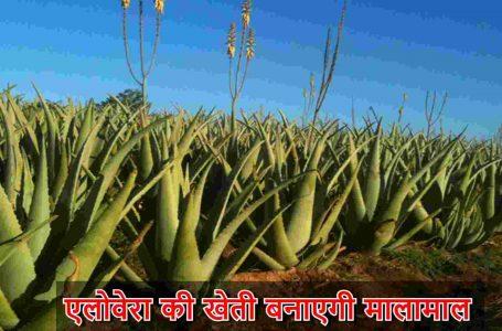 Aloe Vera ki kheti _ एलोवेरा की खेती बनाएगी मालामाल